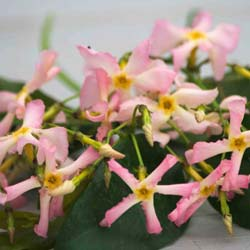 Jasmin étoilé rose 'Pink Showers'®