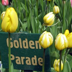 Tulipe Darwin 'Golden Parade'