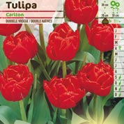 Tulipe double hâtive 'Carlton'