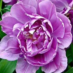 Tulipe double tardive 'Lilac Perfection'