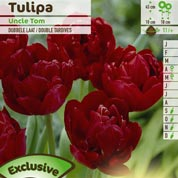 Tulipe double tardive 'Uncle Tom'