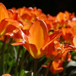 Tulipe fosteriana 'Orange Emperor'
