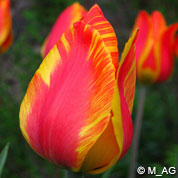 Tulipe hâtive 'Flair'