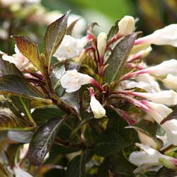 Weigelia 'Black and White ®'