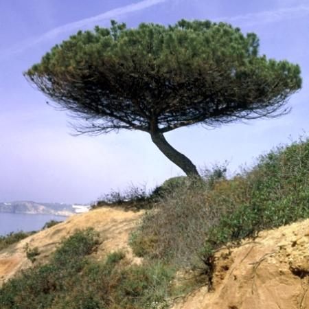 si j'étais un arbre, je serais... Pinuspinea%2003