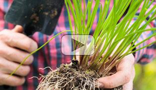 Déplacez les plantes vivaces