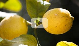 Citrons et compagnie