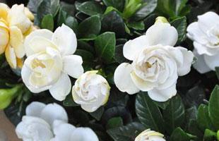 Gardenia 'Crown Jewel'
