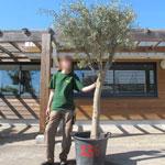 Olive Tree Specimen N°236