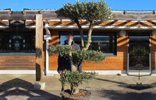 Olive Tree Specimen N°243