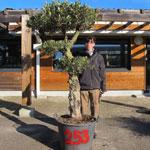 Olive Tree Specimen N°253