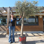 Olive Tree Specimen N°315