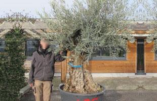 Olive Tree Specimen N°685