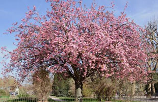 The Oriental Cherry 'Kanzan'