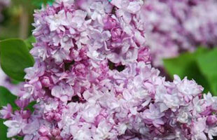 Common Lilac 'Katherine Havemeyer'