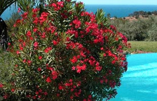 Rose Bay - Red Flowers