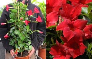 Dipladenia Red