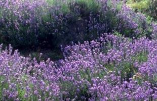 Common Lavender