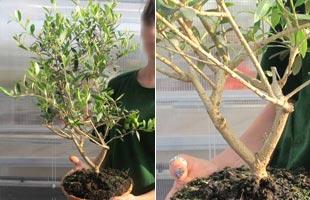 Olive Tree Bonsaï