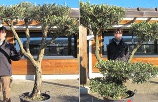 Olive Tree Specimen