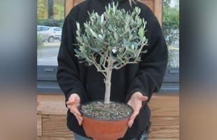 Olive Tree Bonsaï Standard