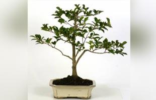 Bonsai Camellia 15 years