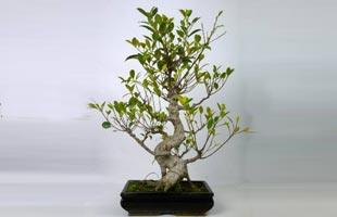 Bonsai Ficus Retusa 8 years