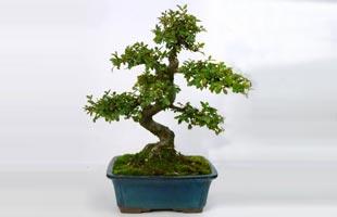 Bonsai Chinese Elm 8 years