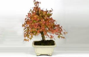 Japanese Maple Bonsai 15 years