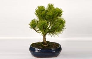 Bonsai Mugho Pine 5 years