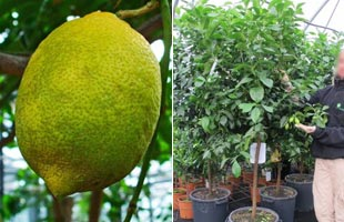Lemon Tree '4 seasons'