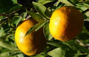 Mandarin Orange tree 'Keraji'