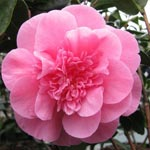 Japanese Camellia 'Debbie'