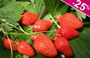 Strawberry plant 'Gariguette'