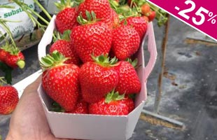 Strawberry plant 'Magnum'