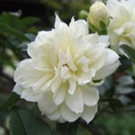 Rose Lady Banks 'Alba Plena'