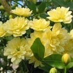 Rose Lady Banks 'Lutea'