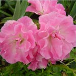 Rose Lady Banks 'Rosea'