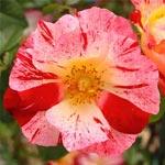 Rose 'Hanabi'