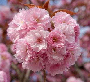 El cerezo del Japón