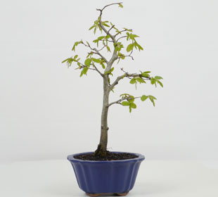 Bonsai Hornbeam 5 years