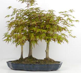 Bosque de bonsáis de 3 troncos
