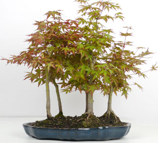 Bosque de bonsáis de 5 troncos