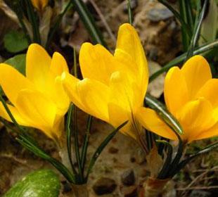 Crocus Mammouth jaune