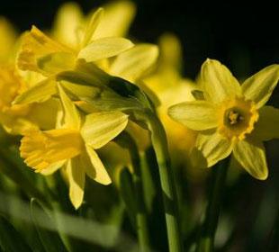 Narcisse botanique 'Tête à tête'