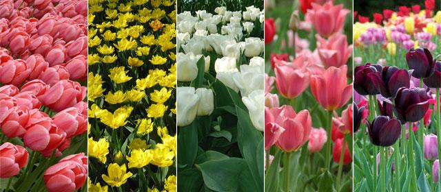 Bulbes de tulipe
