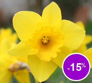 Bolbos de Narciso de trombeta amarelo