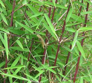 Bambu Fargesia jiuzhaigou Genf Red