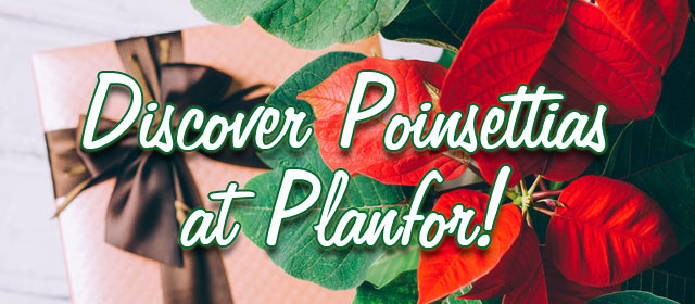 Discover Poinsettias at Planfor!