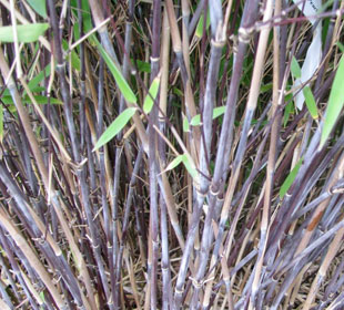 Bambú Fargesia nitida 'Black Pearl'